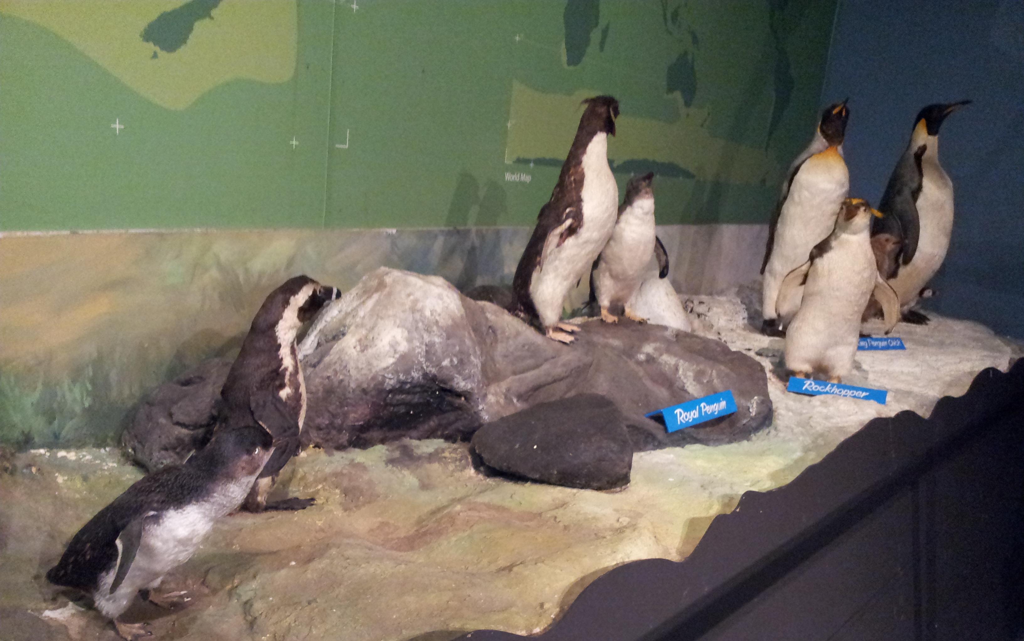 Australia penguins