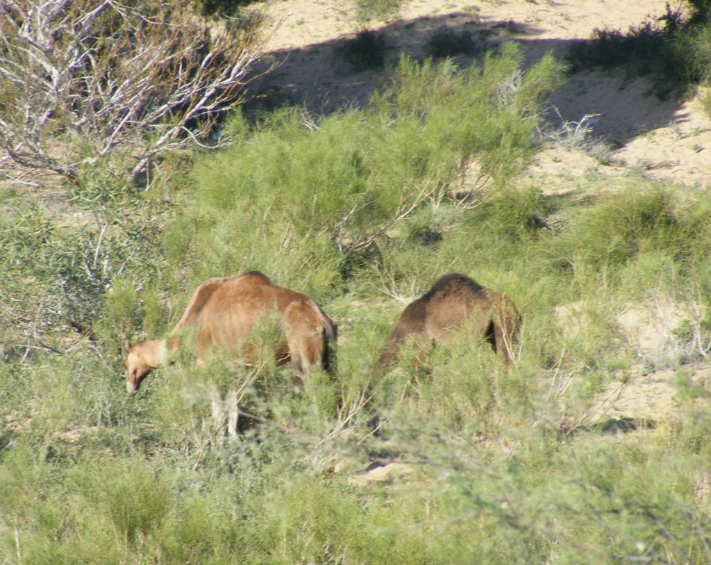 Wild camels in the Moroccan countryside.
