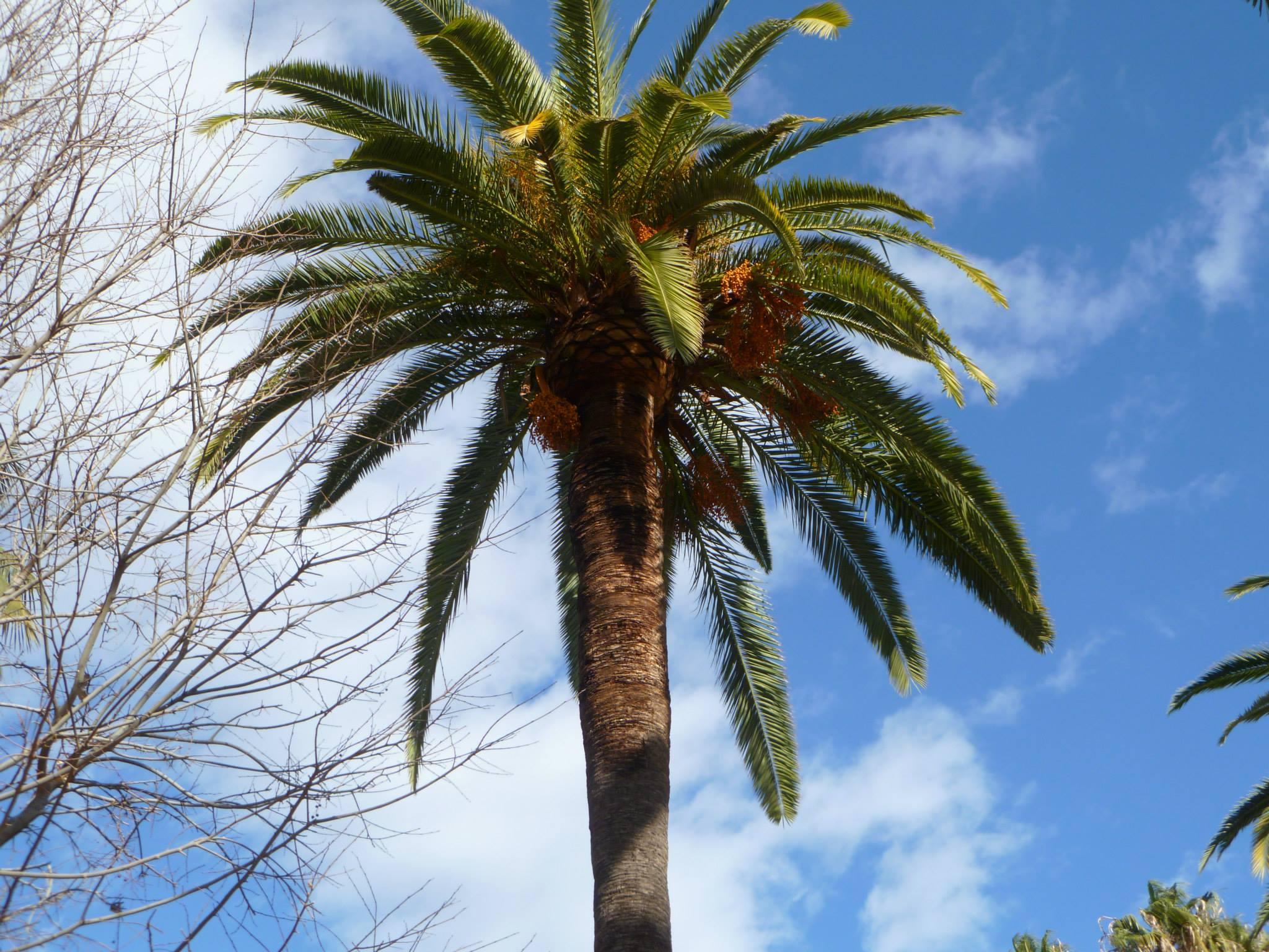 Malaga palm tree