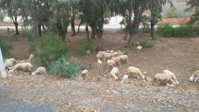 Wild mountain goats outside Casablanca